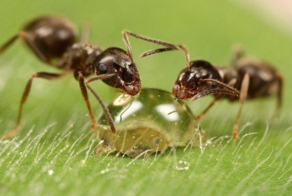 Капля муравьиной кислоты и два муравья