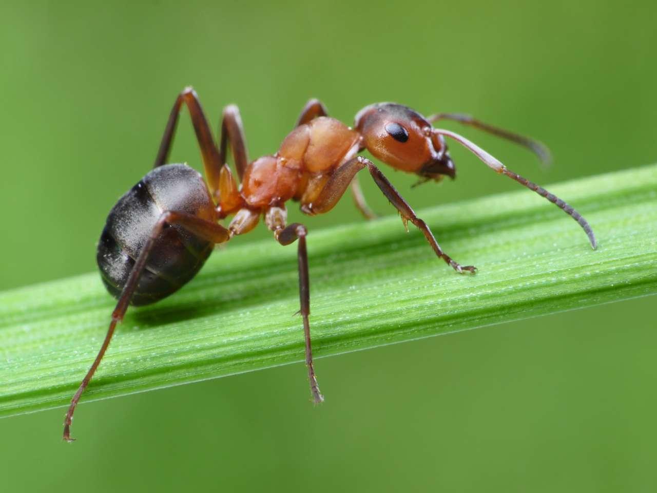 Удаление нежелательных волос с помощью муравьиного масла, кислоты и спирта
