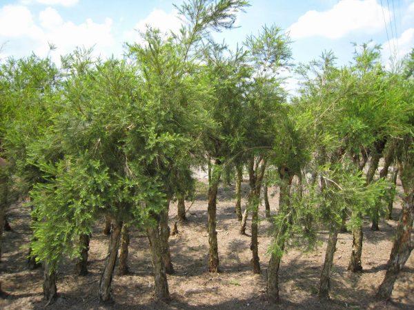 Заросли чайного дерева