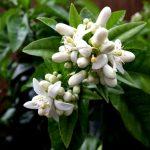 цветы бергамота
