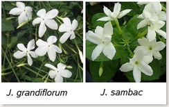 Jasminum grandiflorum и Jasminum sambac