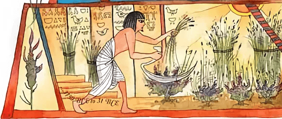 Египтянин собирает урожай лаванды