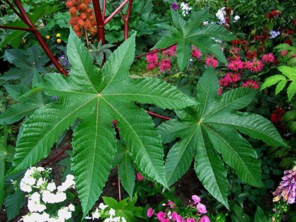 листья растения клещевина обыкновенная