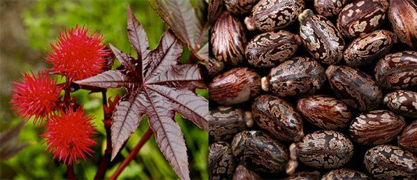 Плоды и семена клещевины обыкновенной