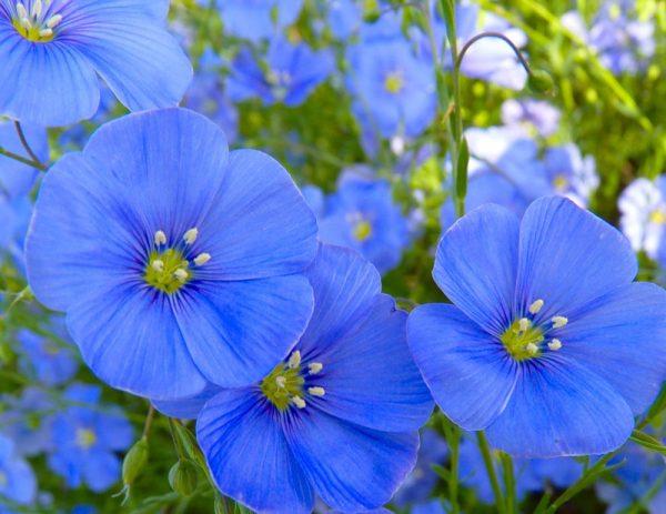 Цветки льна
