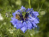Цветок чёрного тмина