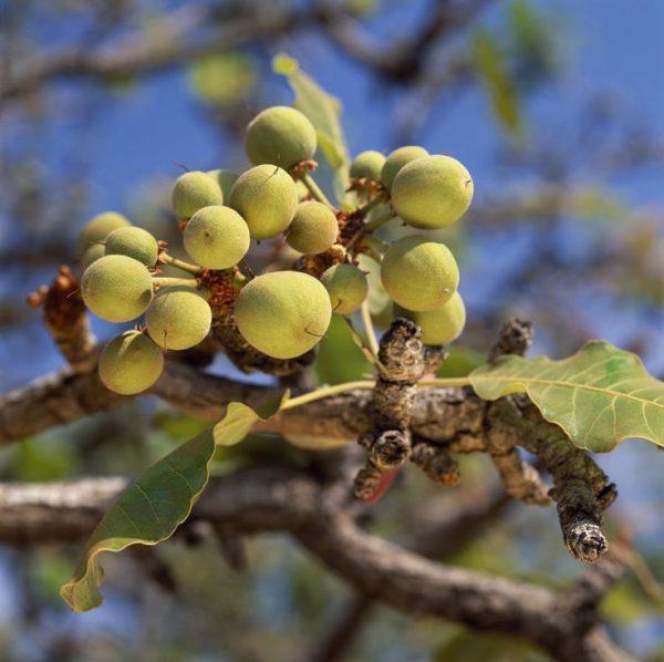 Плоды дерева ши на ветке