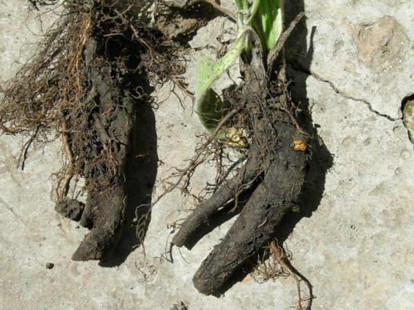 корень окопника