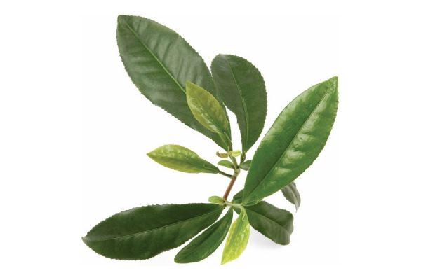 Ветка чайного дерева