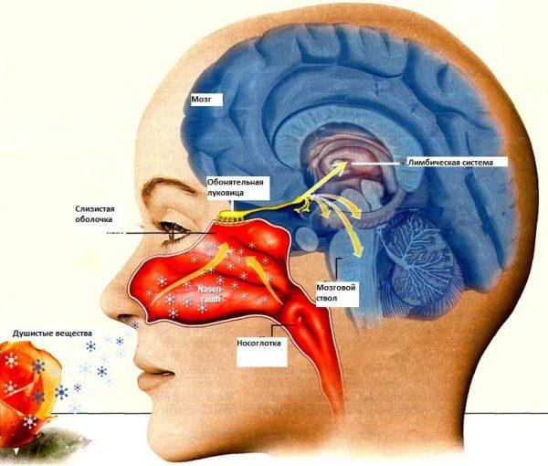 Воздействие паров эфирного масла на мозг: схема