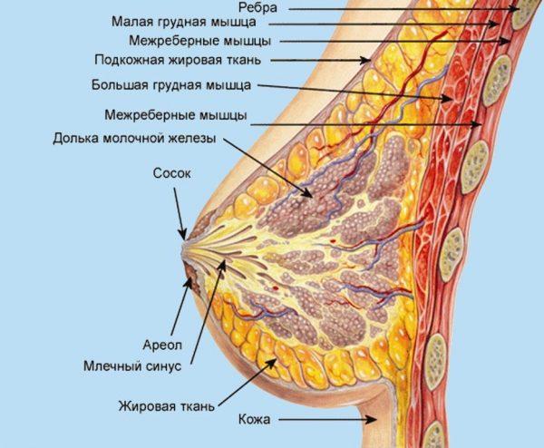 Схема строения груди