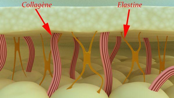 Волокна коллагена и эластина
