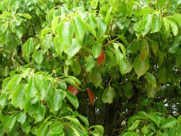 Листья японского лавра