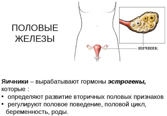 Женские яичники