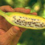 Семена в банане