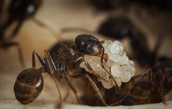 Муравей тащит муравьиные яйца