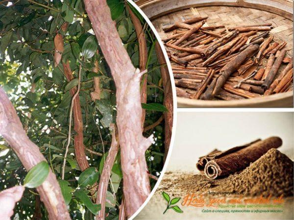 Коричное дерево и полученная пряность