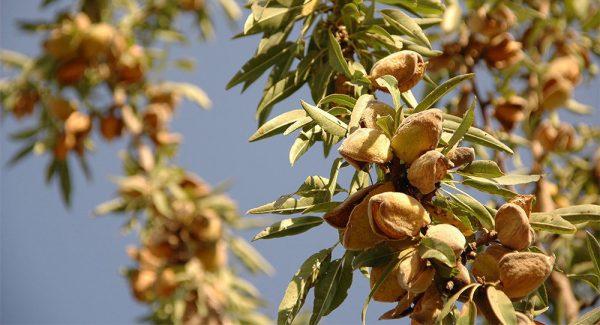 Ветка миндального дерева с орехами