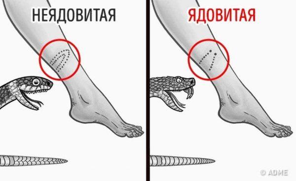 Отличие укуса ядовитой и неядовитой змеи