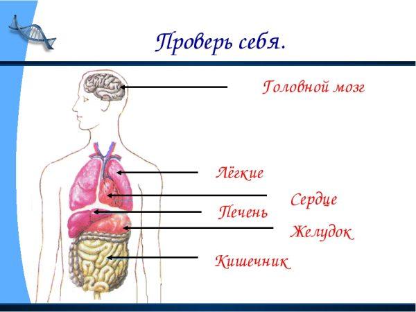 Схема строения организма