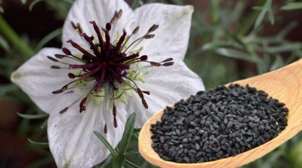 Цветок чёрного тмина или нигеллы
