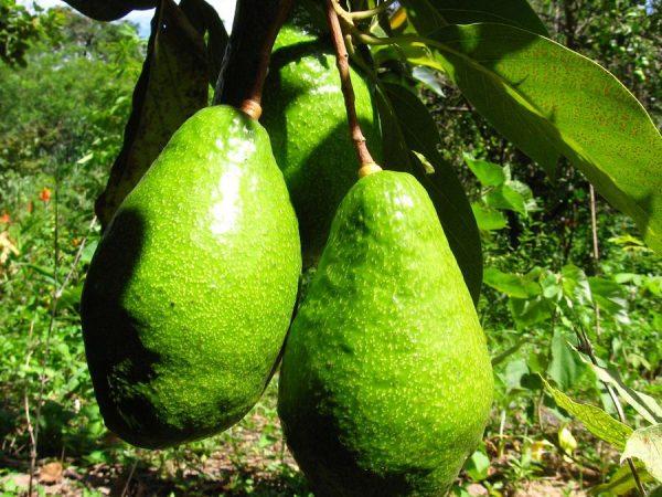 Плоды авокадо на ветке
