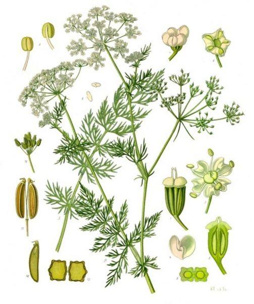 Ботаническая иллюстрация Carum carvi