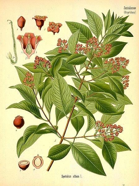Ботаническая иллюстрация Santalum album