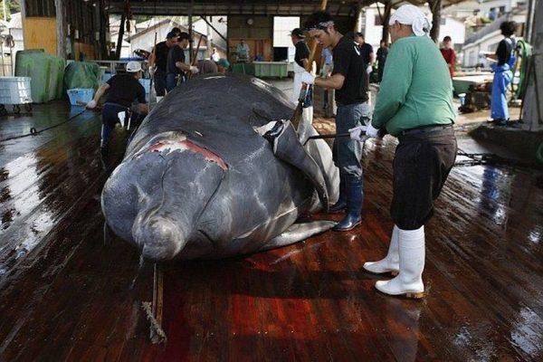 Пойманный кит в помещении