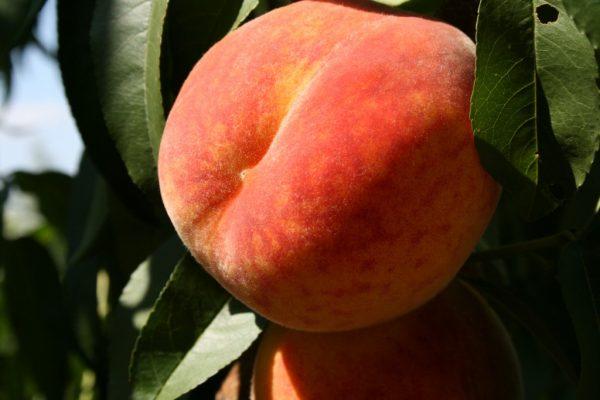 Персик на ветке