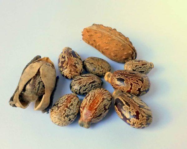 Семена касторового растения