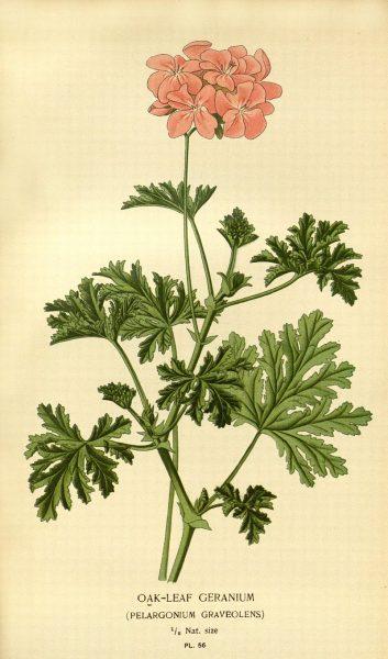 Ботаническая иллюстрация Пеларгонии