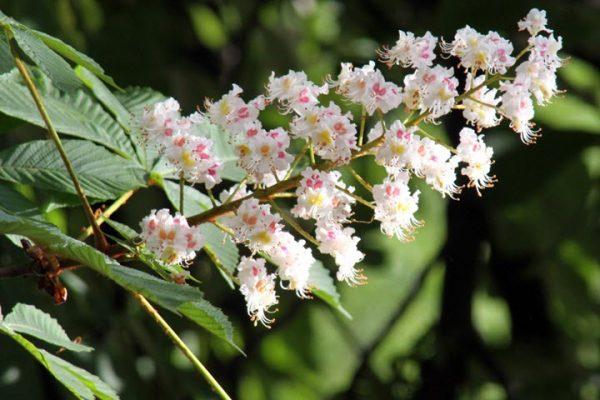 цветки конского каштана