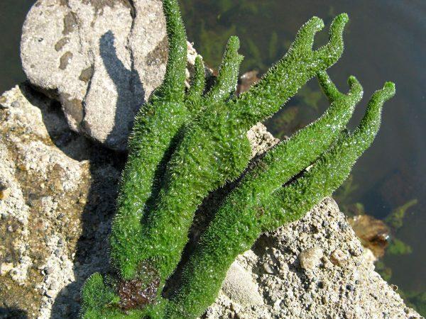Микроорганизм Бадяга в естественной среде обитания