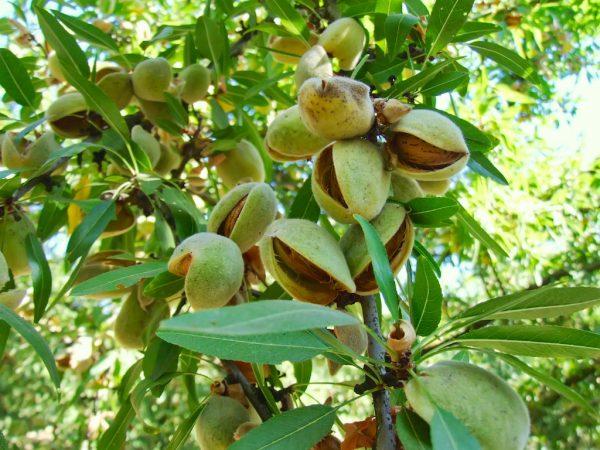 Плоды миндального дерева