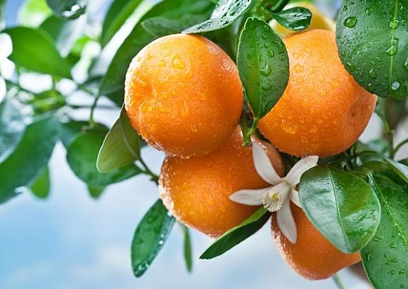 Ветка апельсина с плодами