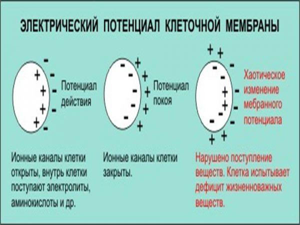 Электрический потенциал клетки
