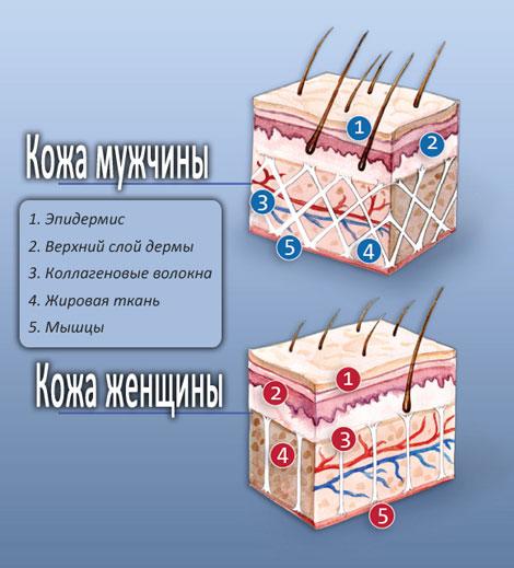 Строение мужской и женской кожи